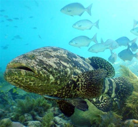 grouper goliath florida fish keys ocean atlantic giant marine key species line protected mote diving reef fishes west thread oceana