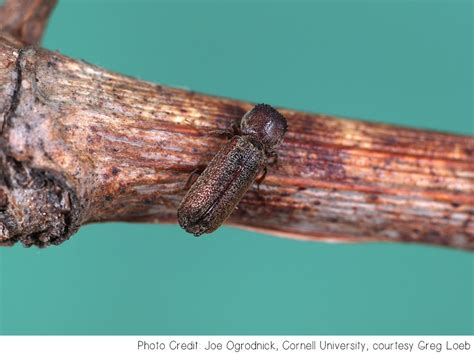 grape cane borer plant diagnostic