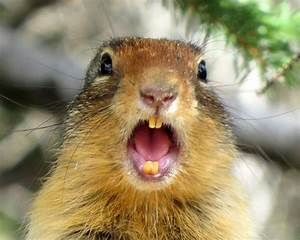 The World's Best Photos of gopher and teeth - Flickr Hive Mind