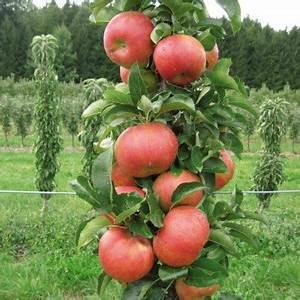 Quand Planter Un Pommier : pommier colonne 39 starcats 39 vente en ligne de plants de ~ Dallasstarsshop.com Idées de Décoration