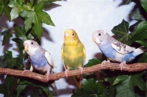 wholesale parakeets wholesale parakeets cockatiels