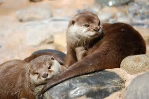 Cute Baby Sea Otters