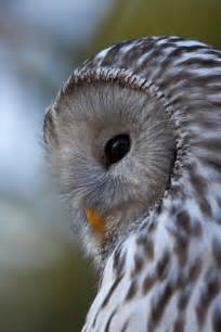 Owls National Geographic Birds