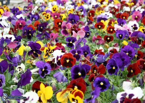 fiori le viole viole pensiero