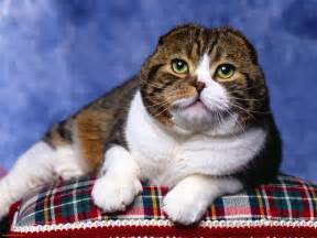 scottish fold cat scottish fold cat breed animals wiki