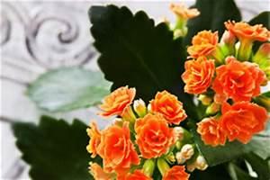 Wucherungen An Pflanzen : flammendes k thchen pflege der kalanchoe ~ Buech-reservation.com Haus und Dekorationen