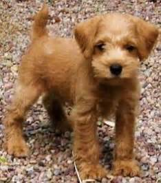 top 10 cutest non shedding dogs 25 best ideas about hypoallergenic puppies on