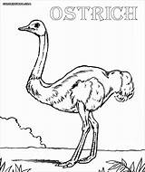 Ostrich Coloring Pages Coloringbay sketch template