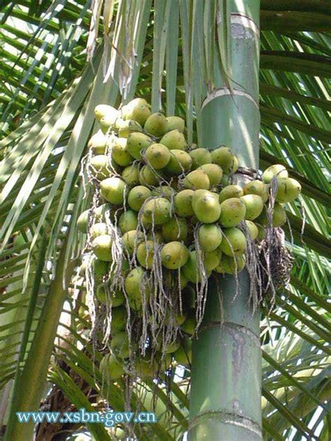 Betel Nut Palm Tree  Tropical Fruits  Fruit World