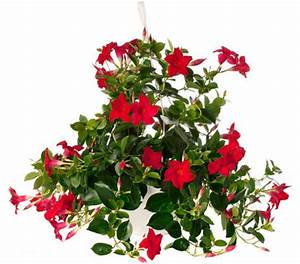 Ampelpflanzen Und Hängepflanzen Garten : dipladenie mandevilla ampel dehner garten center ~ Buech-reservation.com Haus und Dekorationen