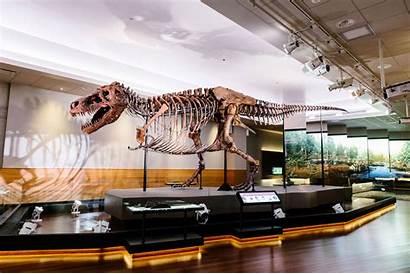 Rex Sue Dinosaur Museum Tyrannosaurus Field Fossil