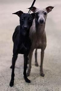 Italian Greyhound - Iggys - Breed Information and Images ...