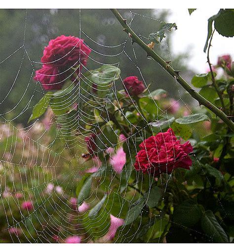 spider web   roses rose notes
