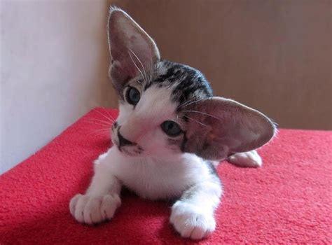 Oriental Shorthair Kitten Such Big Ears Lol