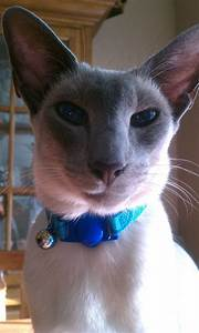 My handsome blue point siamese cat, Remy :) | Siamese ...