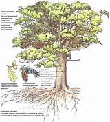 Живое дерево от геморроя