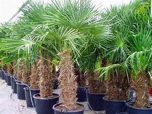 Palme Winterhart Kübel : trachycarpus fortunei hanfpalme 270 280 cm winterhart ~ Michelbontemps.com Haus und Dekorationen