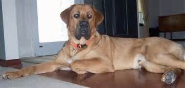 mountain mastiff dog breed information  pictures