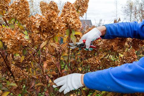 Im Herbst Schneiden by Hortensien Schneiden Zeitpunkt Anleitung F 252 R