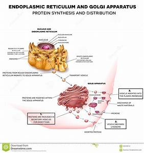 Endoplasmic Reticulum And Golgi Apparatus Stock Vector