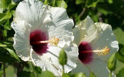 hibiscus entretien hibiscus entretien origine culture gamm vert
