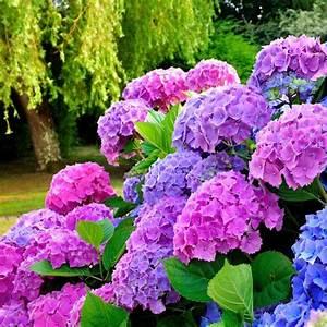 Hortensien überwintern Im Garten : hortensien pflanzen und pflegen mein sch ner garten ~ Frokenaadalensverden.com Haus und Dekorationen