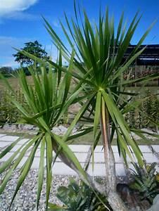 Yucca Palme Winterhart : yucca palme 26 fantastische bilder zur inspiration ~ Frokenaadalensverden.com Haus und Dekorationen