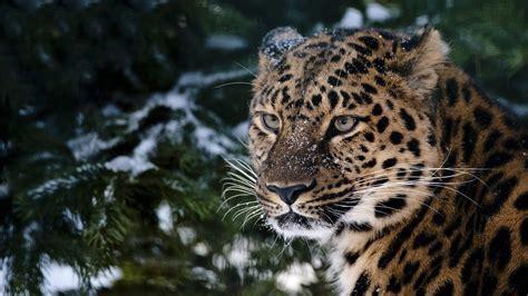 Leopard Wallpapers Hd