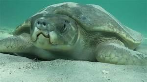 Flatback turtle (Natator depressus) resting on sea bed ...