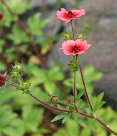 Potentilla (cinquefoil) : nepalensis   Hardy perennials ...