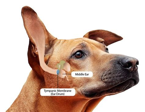 top  natural remedies  dog ear infections pets