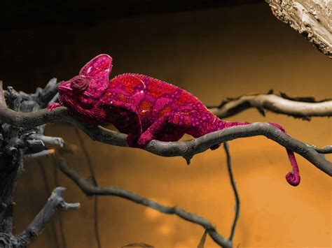 veiled chameleon changing colors heres a chameleon who changed color 171 pilelikeastack