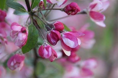japanese trees with pink flowers free pictures ornamental cherry 65 images found