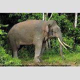 Full Grown Pygmy Elephant | 400 x 267 jpeg 62kB