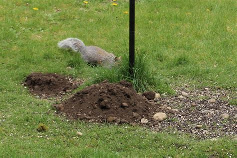 mystery solved dirt piles  rocks   yard