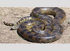The Four Species Of Anacondas WorldAtlascom