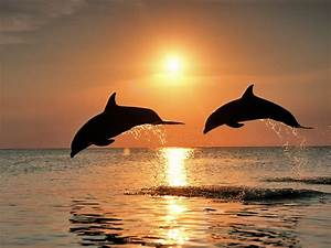 Bottlenose dolphins after the sunset wallpapers and images ...