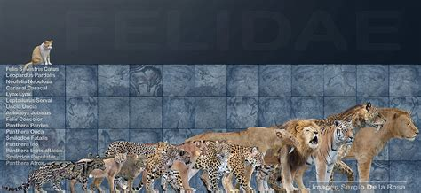 Felidae By Serchio25 On Deviantart
