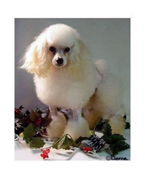 Toy Poodle Breed Information Pictures Tea Cup Poodle