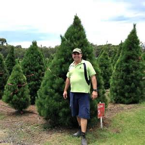 business booms for sydney christmas tree farms as demand grows for fresh pines abc news