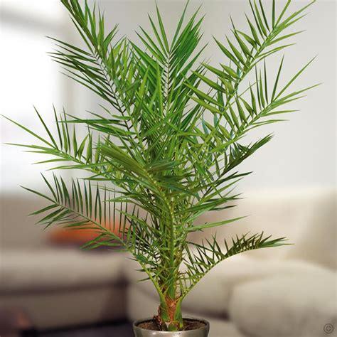 canariensis 1 plante achetez en ligne sur commander vite