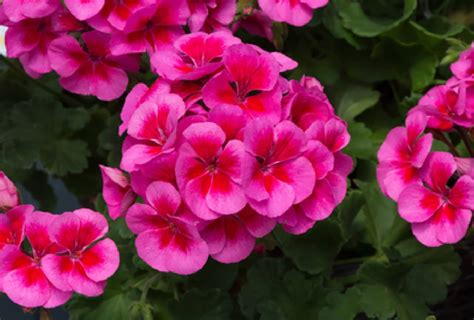 geranium pink unwins plants eye smokey