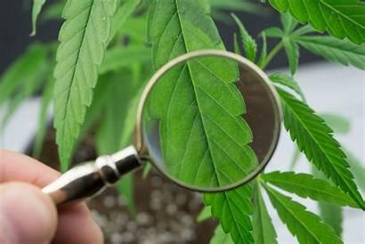 Plant Weed Marijuana Cannabis Problems Troubleshooting Leaf