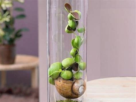 web tv cuisine la plante escargot ou snaily dischidia un végétal original