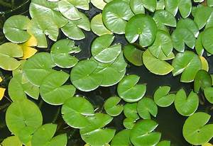 Free Water Lily Leaves Stock Photo