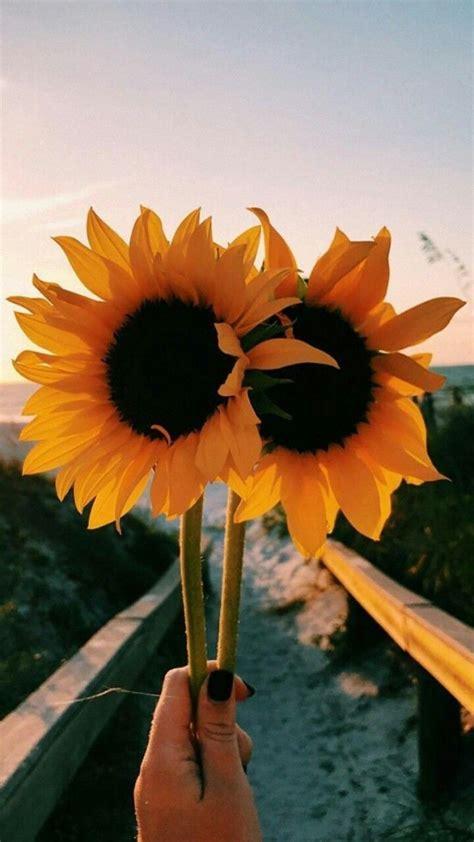 ygg sunflower wallpaper flowers