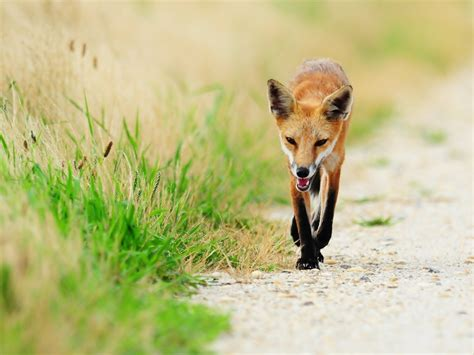 Fox Thin Grass Sick-animal High Quality Wallpaper Preview