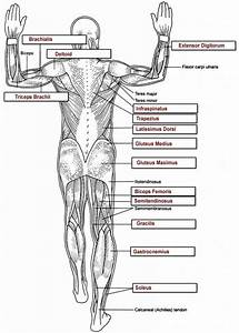 Human Anatomy Labeling Worksheets Tag Muscle Worksheets For Anatomy High School Human Anatomy
