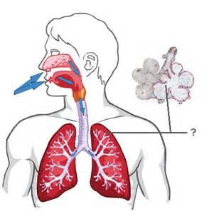 Respiratory and Circulatory System