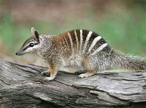 Numbat | Animal Wildlife